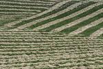 Hay cut for curing, Palouse, Washington
