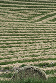 Hay cut for curing, Palouse, Washington