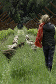 Walking with sheep in the vineyards of Pennyroyal Farmstead, Boonville, Anderson Valley, Mendocino County, California