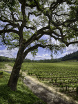Oak trees and vineyards in spring at Yorkville Cellars Winery, Mendocino County, California