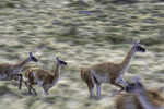 Guanacos roam Torres del Paine National Park, Patagonia, Chile