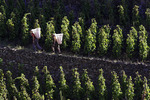 Carrying Syrah grapes at harvest time, E. Guigal Vineyard, Ampui, Rhone Valley, France