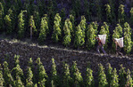 Carrying Syrah grapes at harvest time, E. Guigal Vineyard, Ampuis, Rhone Valley, France