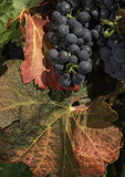 Syrah grapes at harvest time, E. Guigal Vineyard, Ampuis, Rhone Valley, France