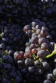 Syrah grapes at harvest time, E. Guigal Vineyard, Ampuis, Rhone Valley, France