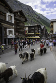 Goats walk in the afternoon on the main street of Zermatt, Switzerland