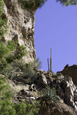 Desert bighorn sheep thrive in Aravaipa Canyon, Arizona