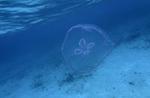 Snorkeling with a jellyfish off Honeymoon Beach, US Virgin Islands National Park, St. John, US Virgin Islands