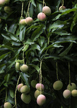 Mangos thrive in the US Virgin Islands