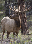 Grand Canyon male elk in spring, South Rim, Grand Canyon National Park, Arizona