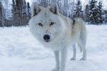 An Arctic wolf, at Adventuraid, Girardville, Saguenay-Lac-Saint-Jean, Quebec, Canada