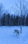 An Arctic wolf roams at twilight, at Adventuraid, Girardville, Saguenay-Lac-Saint-Jean, Quebec, Canada
