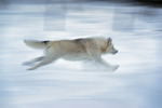 An Arctic wolf runs at Adventuraid, Girardville, Saguenay-Lac-Saint-Jean, Quebec, Canada