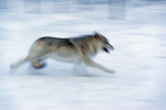 An Arctic wolf runs at Adventuraid, Girardville, Saguenay-Lac-Saint-Jean, Quebec, Canada