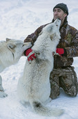 Gilles Granal frolicks with his Arctic wolves, at Adventuraid, Girardville, Saguenay-Lac-Saint-Jean, Quebec, Canada