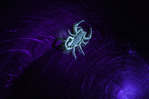 Scorpion under black light, Grand Canyon, Arizona