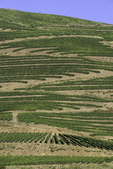 Vineyards line the slopes above the Rio Douro, Portugal
