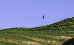 A hawk hunts over the vineyards above the Rio Douro, Portugal