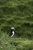 An Atlantic puffin rests near Heimaey, Westman Islands, Iceland