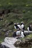 Atlantic puffins on Grimsey Island, at the Arctic Circle, Iceland
