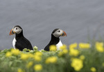 Two wary Atlantic puffins on Grimsey Island, at the Arctic Circle, Iceland
