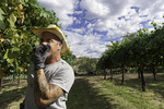 L. Jay Morton harvests syrah grapes at DA Ranch, Page Springs, Verde Valley Wine Trail, Arizona