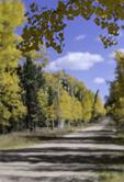 Aspens by a backroad, North Rim, Kaibab Plateau, Arizona