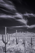 Saguaros and vista of Four Peaks, Mazatzal Mountains, Arizona