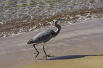 A Great Blue Heron stalks prey on Bartolome Island, Galapagos, Ecuador