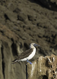 A Blue-Footed Boobie watches and waits on Bartolome Island, Galapagos, Ecuador