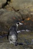 A Galapagos penguin eyes our zodiac off Bartolome Island, Galapagos, Ecuador