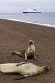Galapagos sea lions on the beach, with the Santa Cruz II, Rabido Island, Galapagos, Ecuador