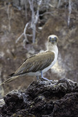 Blue-Footed Booby on Rabido Island, Galapagos, Ecuador