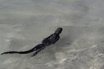 Marine iguana, Las Bachas, Santa Cruz Island, Galapagos, Ecuador