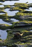 Marine iguana on tidepools, James Bay, Puerto Egas, Santiago Island, Galapagos, Ecuador