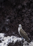 Blue-Footed Boobie, Buccaneer Cove, Santiago Island, Galapagos, Ecuador