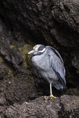 Yellow Crowned Night Heron, Buccaneer Cove, Santiago Island, Galapagos, Ecuador