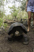 Galapagos tortoise, at the Tortoise Breeding Center, San Cristobal Island, Galapagos, Ecuador