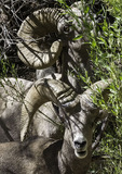 Desert Bighorn Rams, Grand Canyon National Park, Arizona