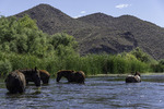 Wild horses of the Salt River, Tonto National Forest, Arizona