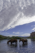 Wild horses of the Salt River, Tonto National Forest, Arizona