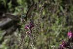 Hummingbird in late summer, Chiricahua Mountains, Arizona