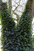 Ivy grows on trees in North Berwick, Scotland
