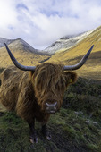 Highland cattle on the Isle of Skye, Scotland