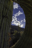 Saguaros in Tucson Mountain Park, Arizona