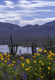 Lupines and Mexican gold poppies, near Bartlett Lake, Arizona