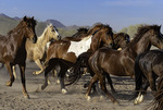 Running the horses, White Stallion Ranch, Marana, Arizona