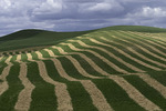 Alfalfa fields cut and drying, Palouse, Washington