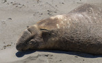 Elephant seal resting on the beach at Piedras Blancas, California