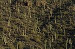 Saguaro habitat at sunrise, Gates Pass, Tucson, Arizona